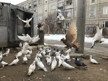Pigeons in Gyumri, Armenia - photo Armine Avetisyan