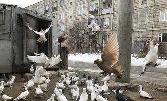 Pigeons in Gyumri, Armenia - photo Armine Avetisyan