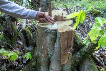 Un faggio tagliato nei boschi di Gadik (Chai Khana)