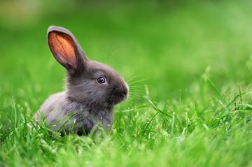 Piccolo coniglio su erba verde in giornata estiva © Volodymyr Burdiak/Shutterstock