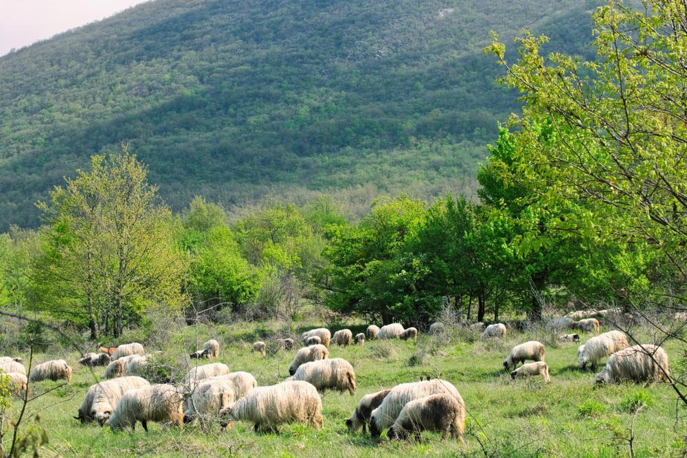 Gregge di pecore pascola