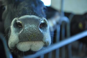 Le mucche della Val Rendena (Foto Bianca Pasquini)