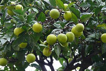 Limoni a Kotor