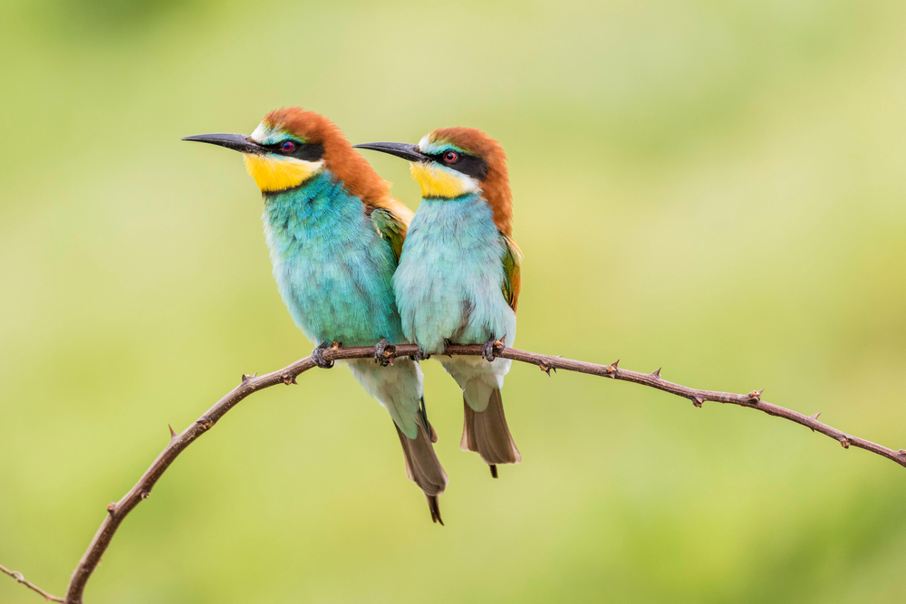 Common bee-eater (Merops apiaster) photographed in the province of Ruse, Bulgaria (© Shutterstock)