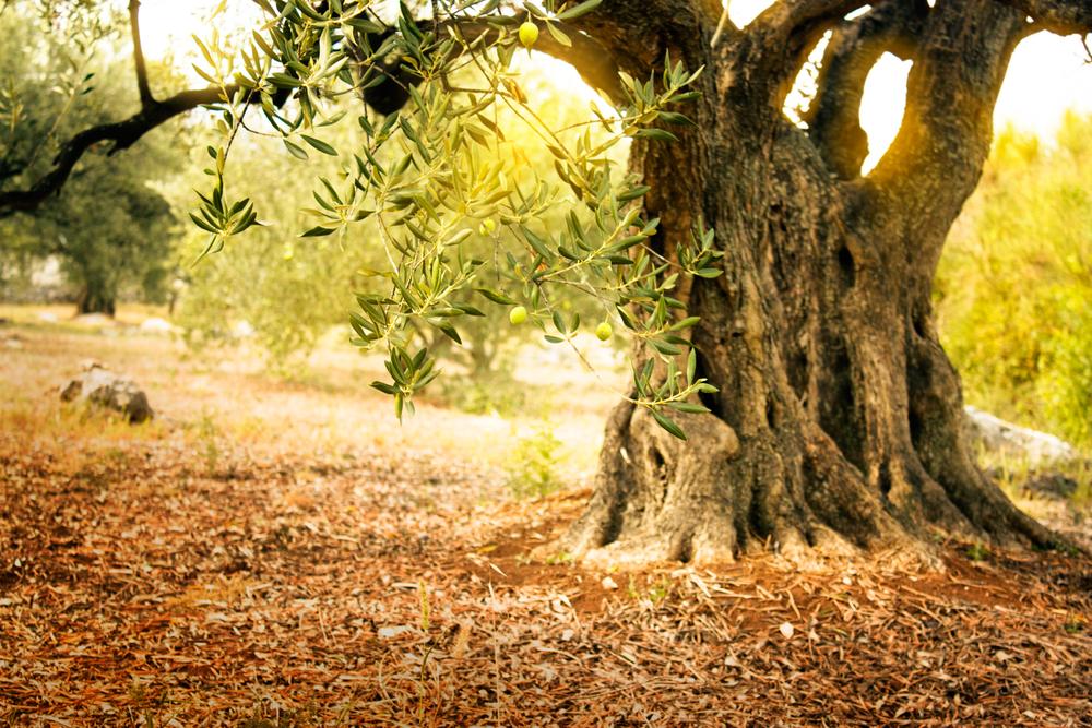 Olivo ad Atene