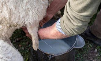 Milking (© miquelito/Shutterstock)