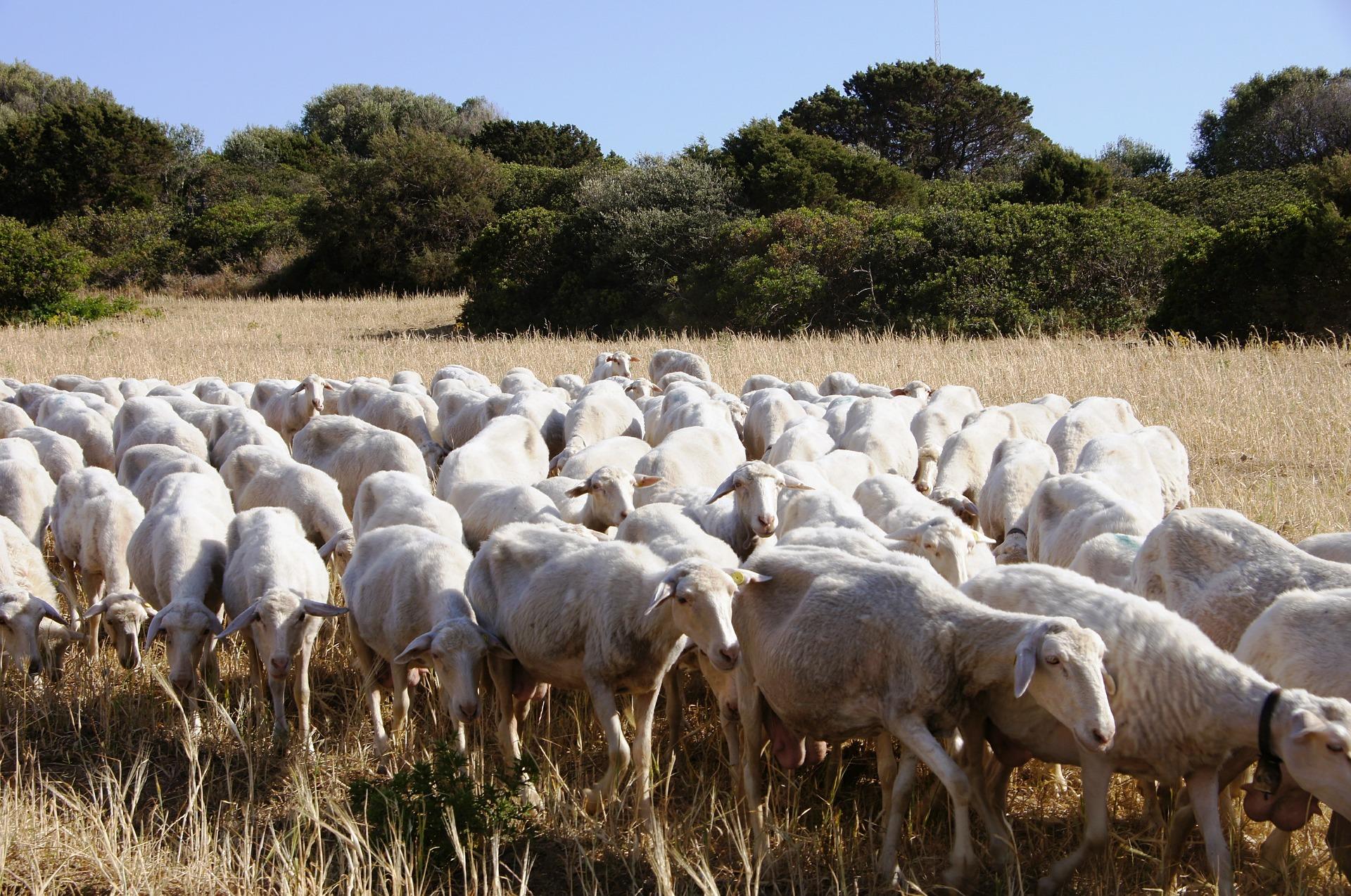 Sardegna: pastori di Romania / Italia / aree / Home ...