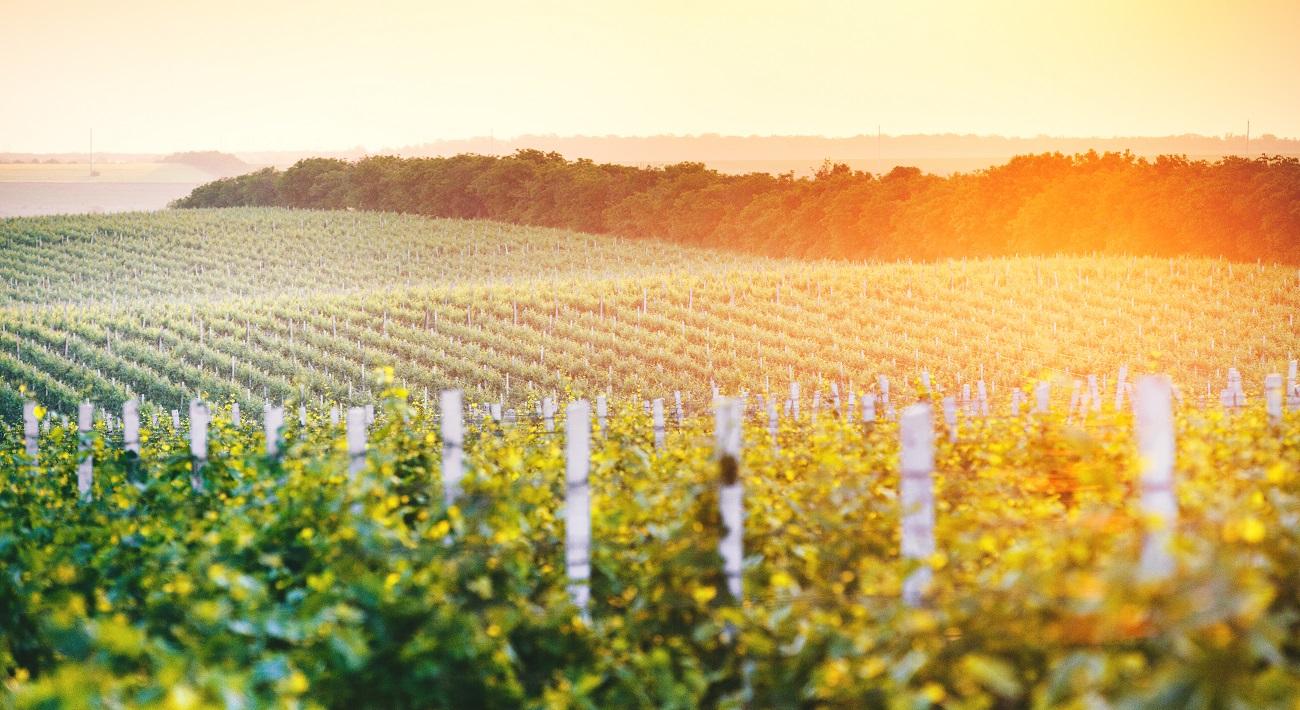 Vineyards in Moldova - © Maxim Ciumas