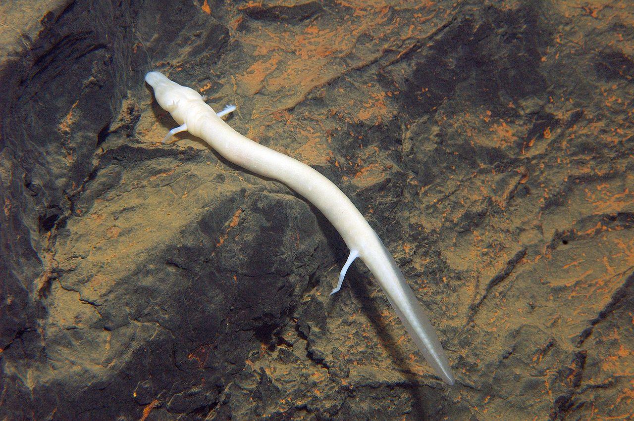 Un esemplare di Proteus Anguinus - Wikimedia