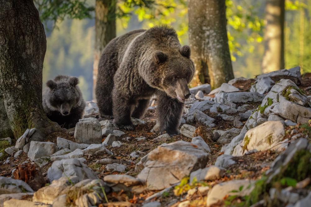 Bears in Slovenia - Neil Burton/Shutterstock