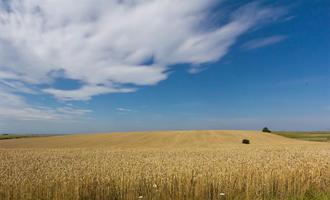 Campo di grano in Ucraina - Wikimedia