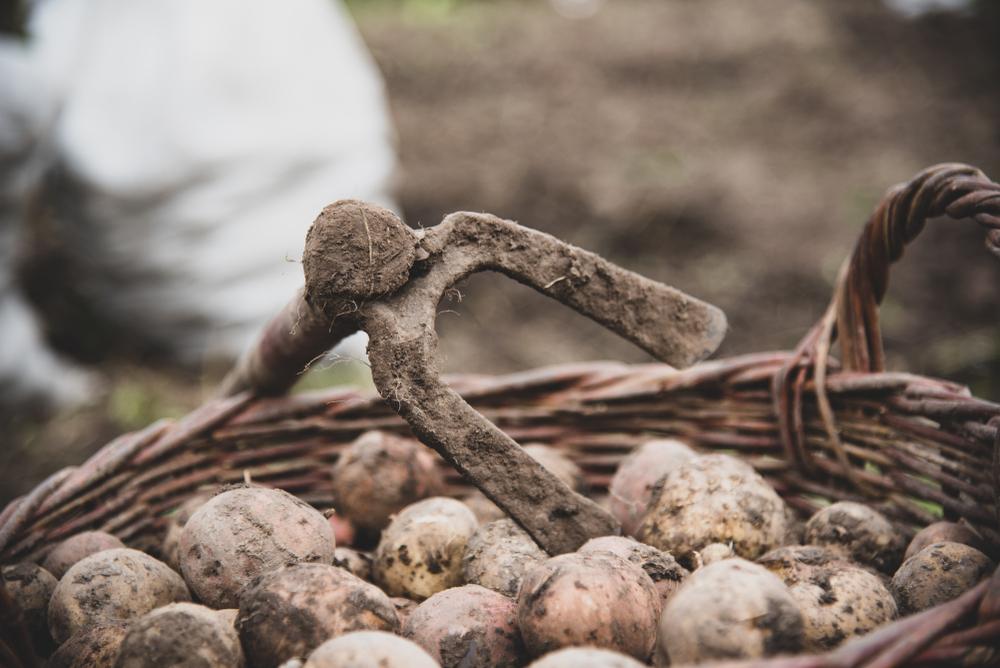 Ucraina, patate raccolte da poco (© Roman Demkiv/Shutterstock)