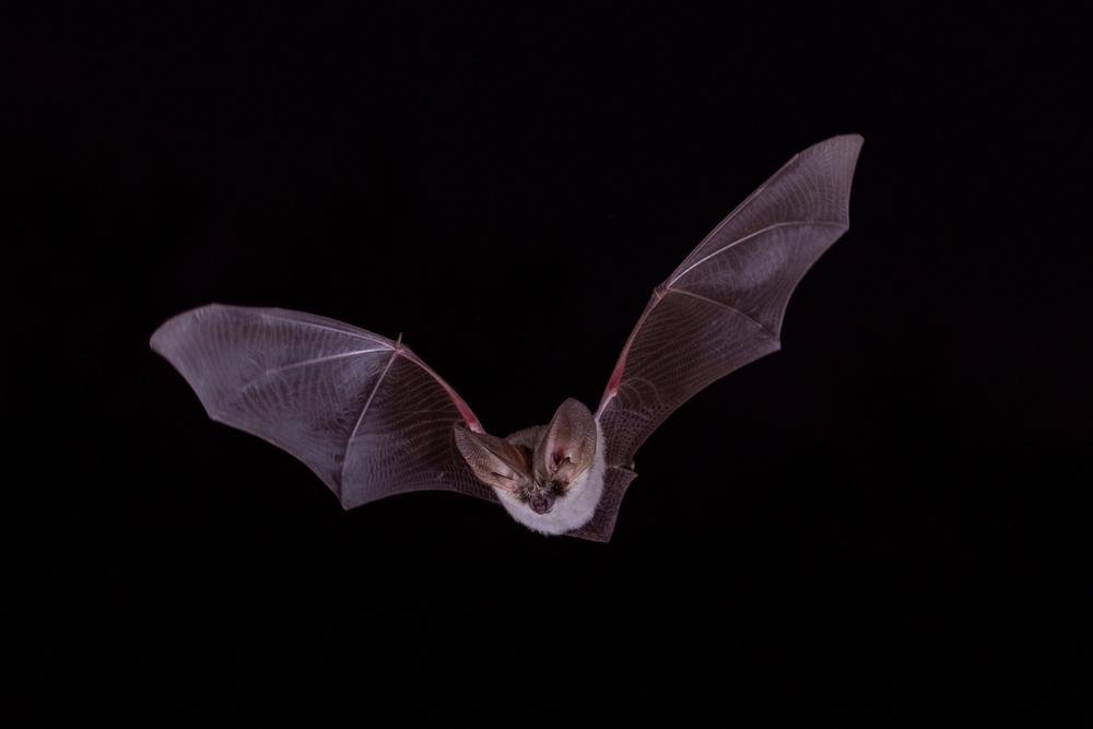 Pipistrello (© Carl Allen/Shutterstock)