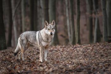 Un lupo fotografato in un bosco di faggi (mjurik/Shutterstock)