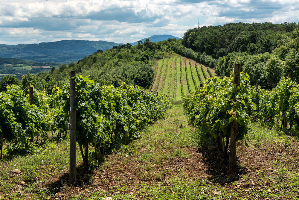 Un campo coltivato a vite in Serbia (WR7/Shutetrstock)
