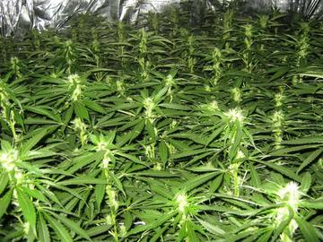 Marijuana plants (photo albanianews)