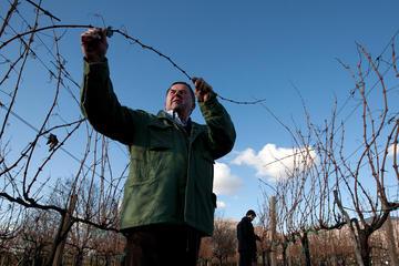 Tomo Bojanić's vines - Ivo Danchev