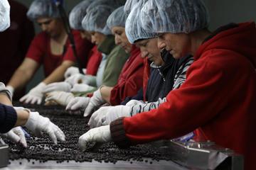 Lavorazione di piccoli frutti, Cooperativa Zajedno - foto di © Mario Boccia