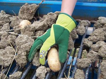Raccolta patate biologiche