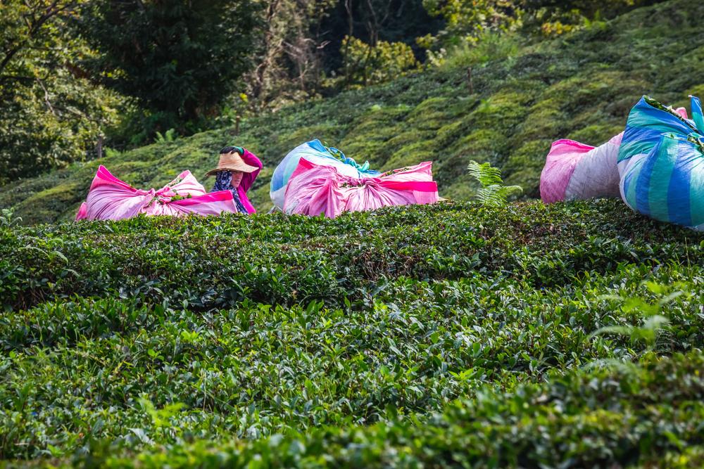 Tea harvesting in Turkey