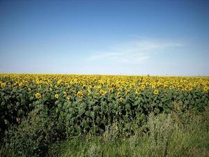 Campo di girasoli in Ucraina - foto di Paolo Bergamaschi