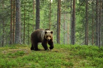 Un orso bruno - © Erik Mandre/Shutterstock