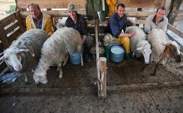 Milking at Lazaropole, Western Macedonia