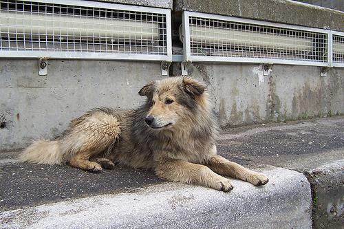 Cane randagio-Romania