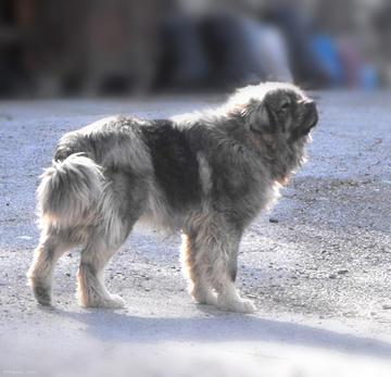 the shara mountain sheepdog